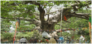 Mystic Parijaat Tree. Southlit July 2014